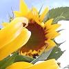slnečnica na predaj